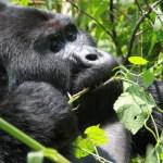 Mums! Gorillaer nynner når de spiser