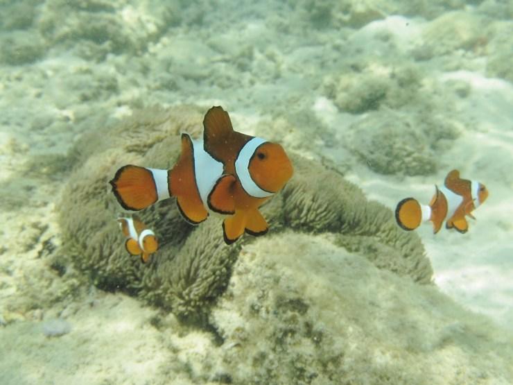 klovnfisk Amphiprion ocellaris påvirkes af lysforurening