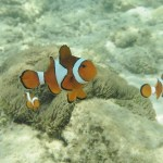 Hvad har klovnfisk og havskildpadder til fælles?
