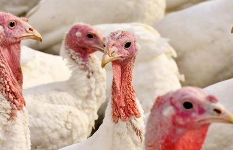 Tarnybos įspėja: Paukščių gripas plinta žaibiškai 14