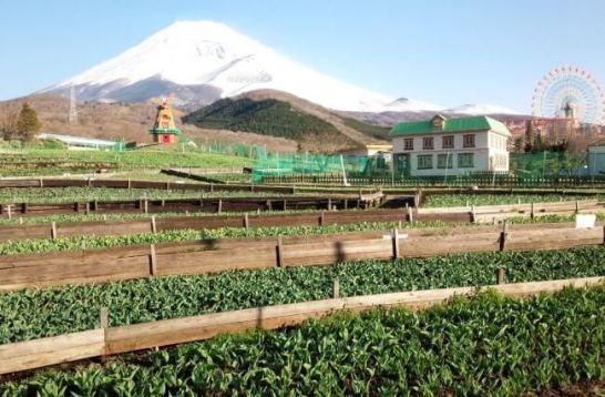 富士山の裾野 天空の チューリップ祭り2015