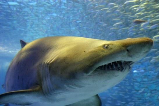 シロワニ - 東京湾 サメコレクション(八景島シーパラダイス)