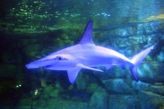 アカシュモクザメ - 東京湾 サメコレクション(八景島シーパラダイス)
