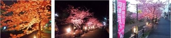 松戸宿坂川河津桜まつり