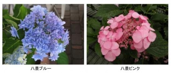 オリジナルあじさい 『八景ブルー』『八景ピンク』