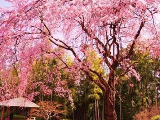 戸定(とじょう)のしだれ桜