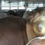 Krowy nie podróżują w