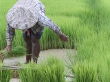 ryż coraz mniej odżywczy