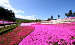 ソメイヨシノが散っても、次がある! 芝桜を求めてショートトリップ。
