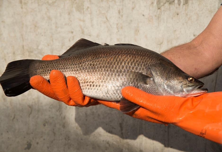 דג הברמונדי, הלוקוס האוסטרלי, מגיע לישראל