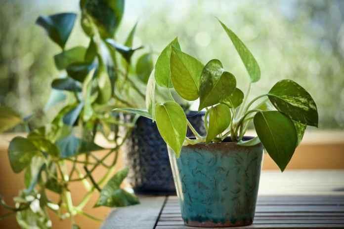 Huseplants Pothos Nature