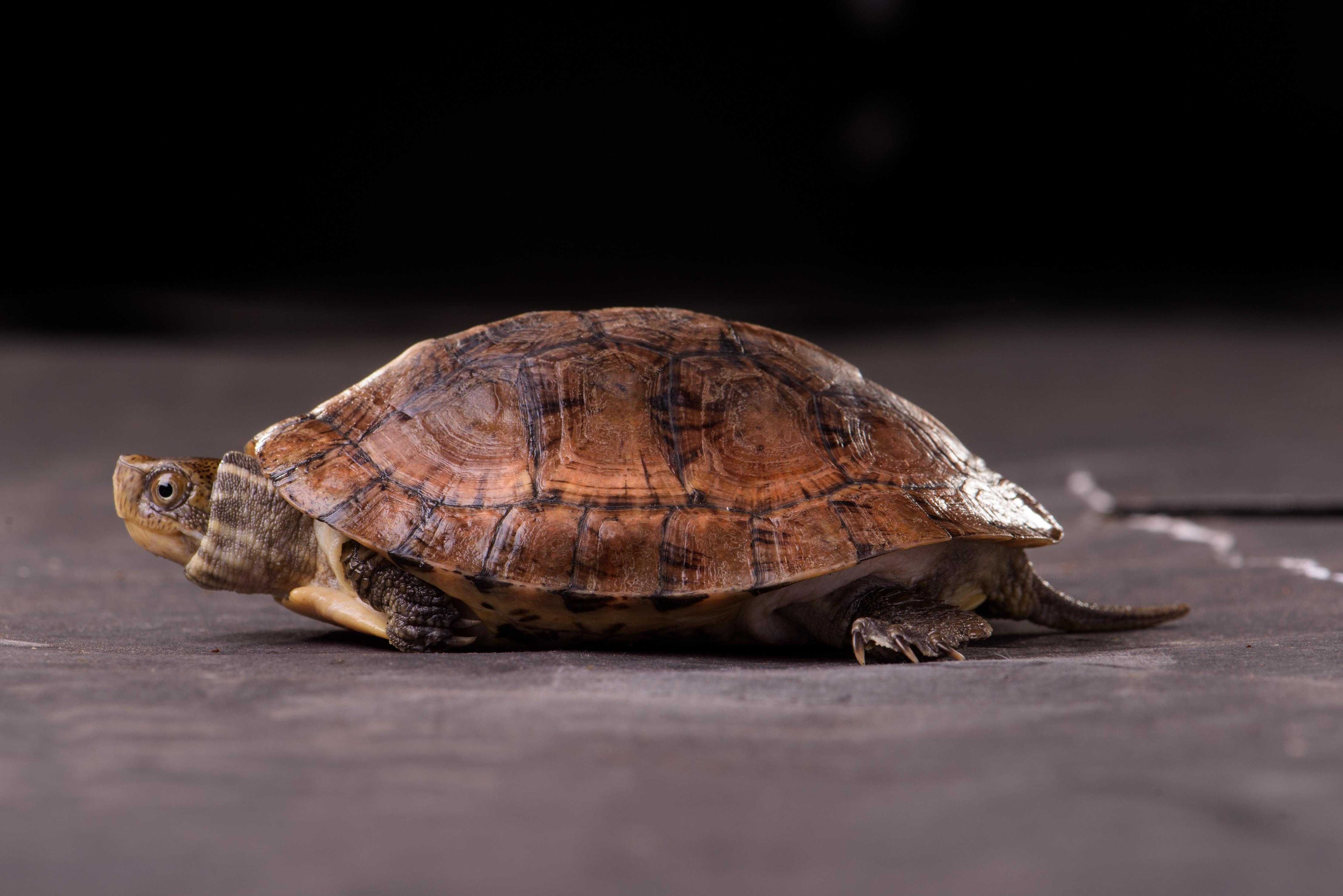 【保育動物名錄】新增199種保育動物,水龜交流討論板