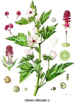 Bijeli sljez - Althaea officinalis | Univerzitet Ljekovitog Bilja