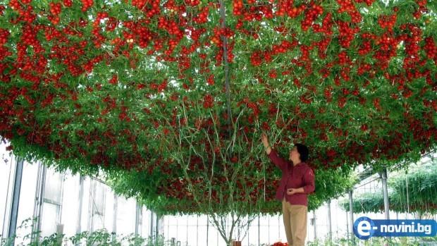 Миналата година засадих това дърво и всички се шашнаха от реколтата ми. Направете го и Вие и ще берете по 1 тон домати!