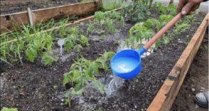 Здрава и богата реколта от домати: използвайте тези домашни торове!