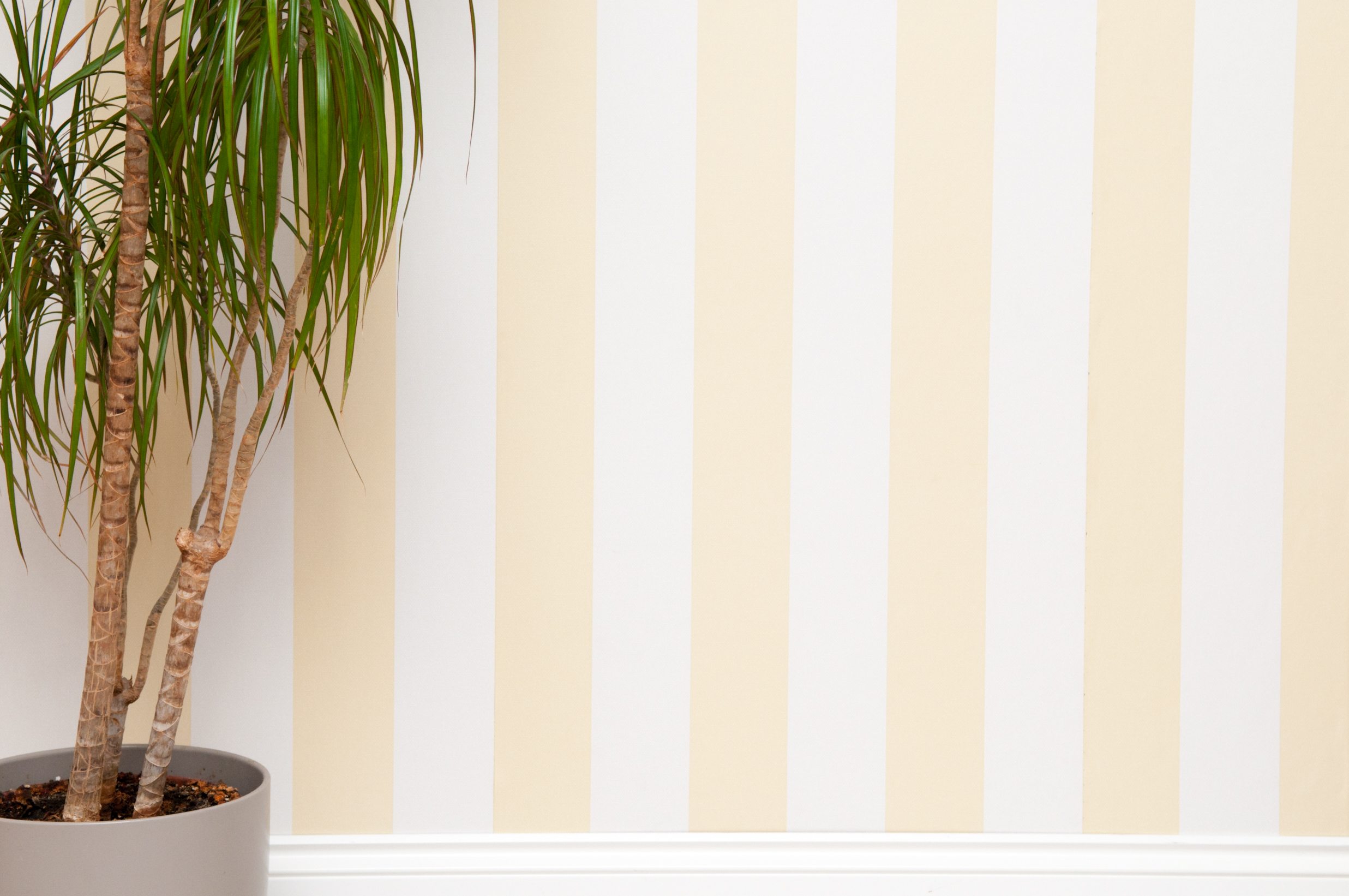 Empty room background with striped yellow wallpaper a wooden floor and a plant