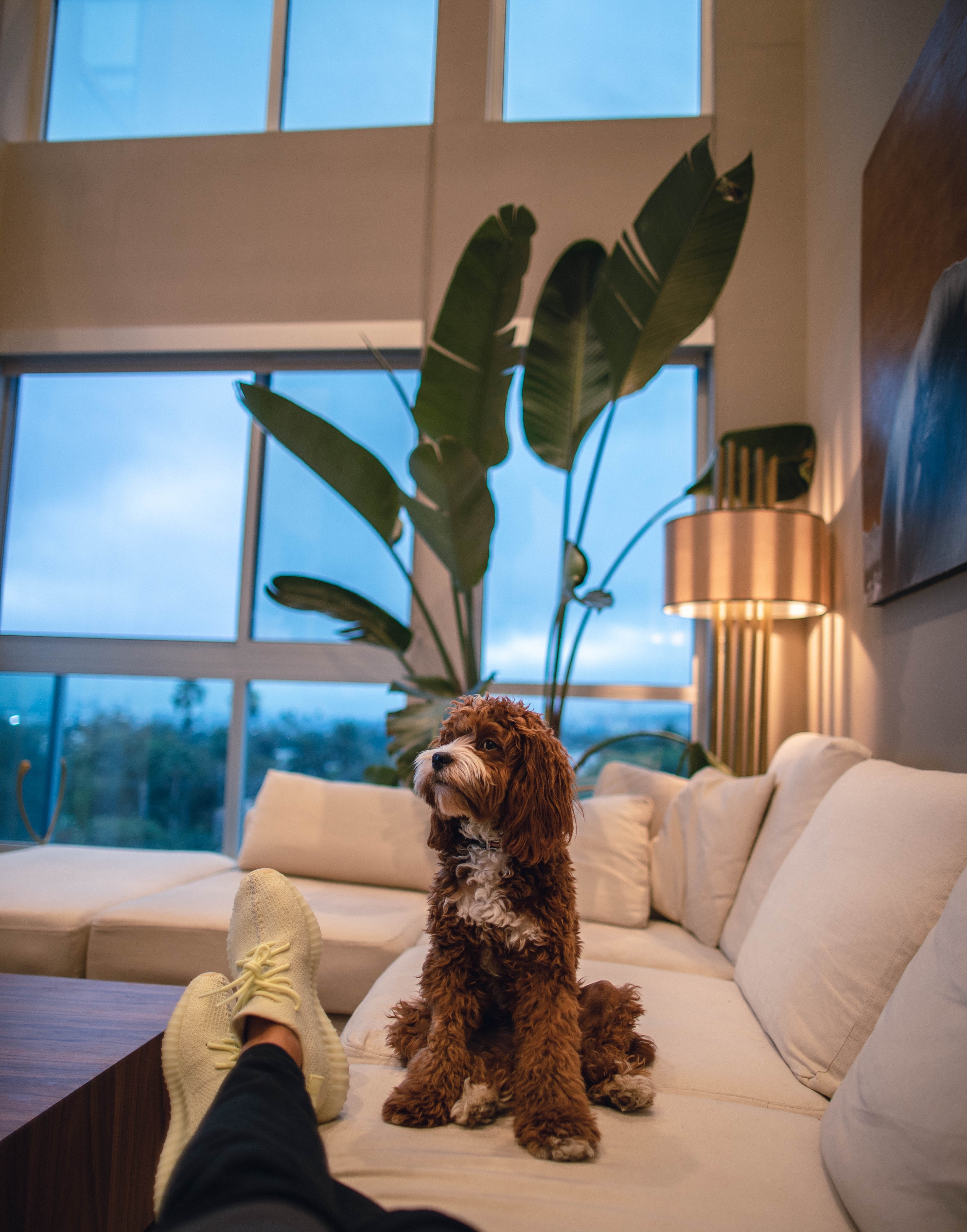 a dog on a couch in a living room with high ceilings and big windows