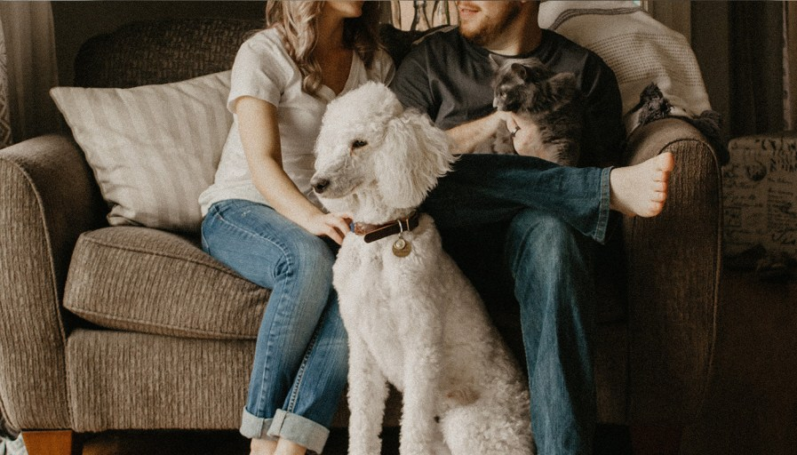 A poodle sitting by its owners