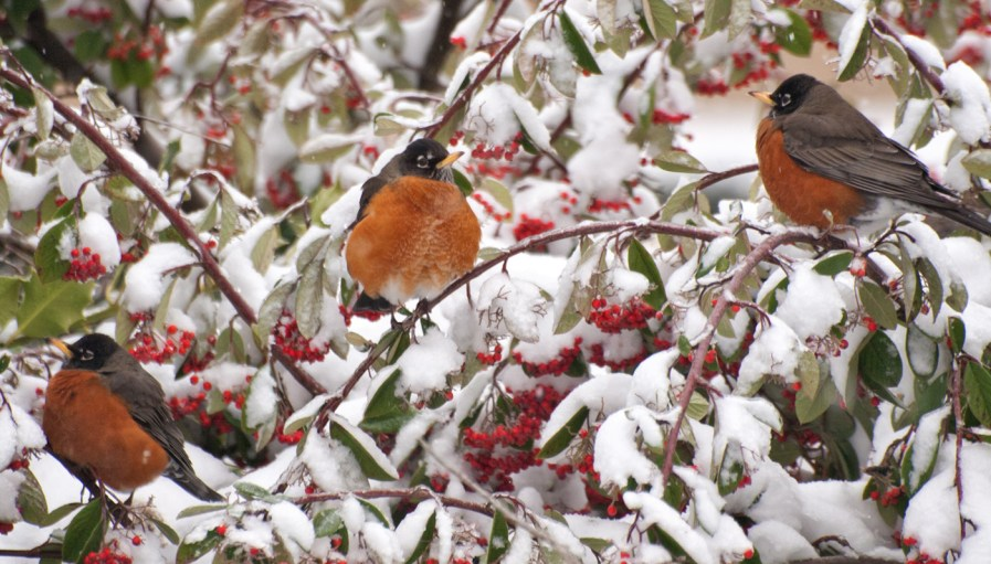 3 birds sitting on a winter tree in a snow fall.