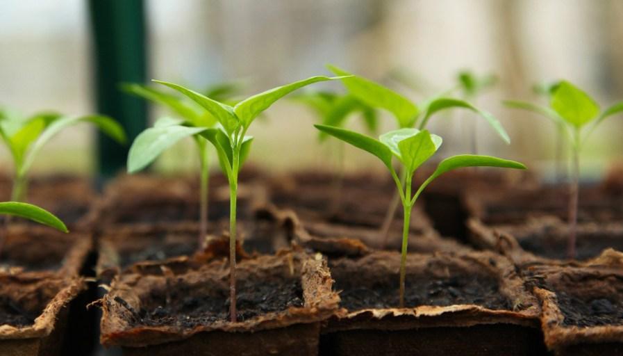 a row of seedlings in soil inside a greenhouse
