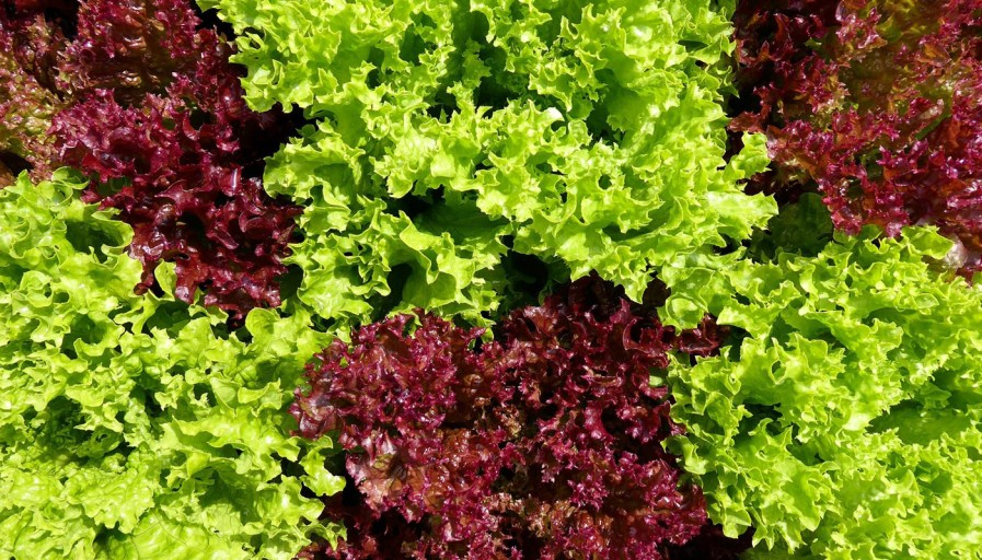 a close up of red and green heads of lettuce