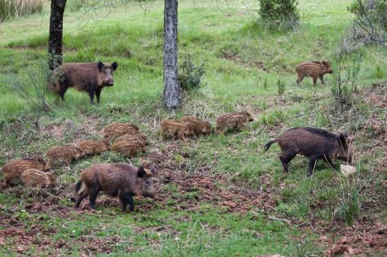 Iberian Wild Boar