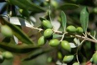 Ολοκληρωτική καταστροφή σε ελιές – εσπεριδοειδή στην περιοχή του Πηλίου