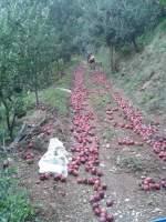 Ζημιές σε 500 τόνους μήλων από την ανεμοθύελλα στη Ζαγορά «Θ»