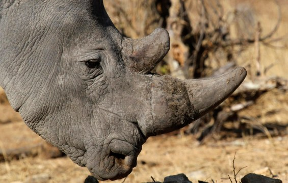 File photo of a white rhinoceros moving across grassland at the Imire Rhino and Wildlife Conservation Park near Marondera
