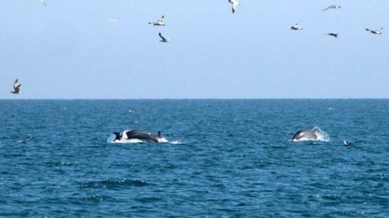 delfinia