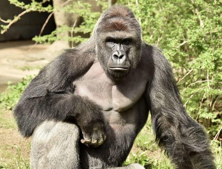Gorilla shot after 4 year-old boy fell into gorilla enclosure