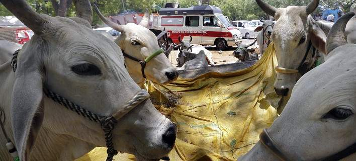 cows708