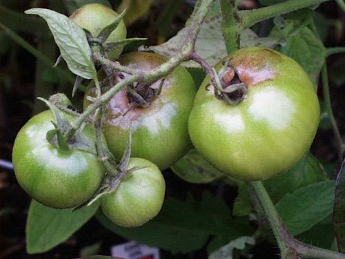 Περονόσπορος «χτύπησε» την επιτραπέζια ντομάτα στη Μαγνησία