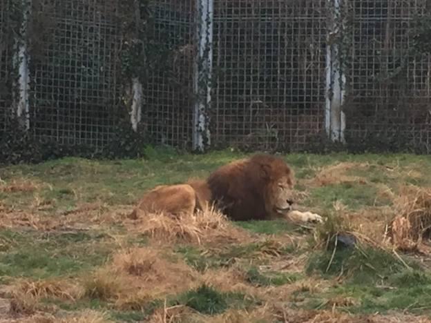 アニマルキングダムのライオン