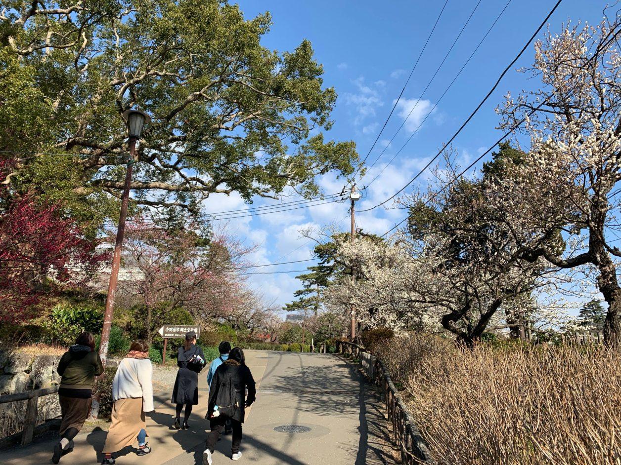 小田原城址公園の梅