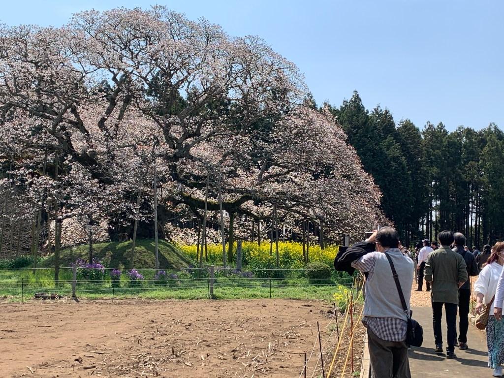 満開の吉高の大桜