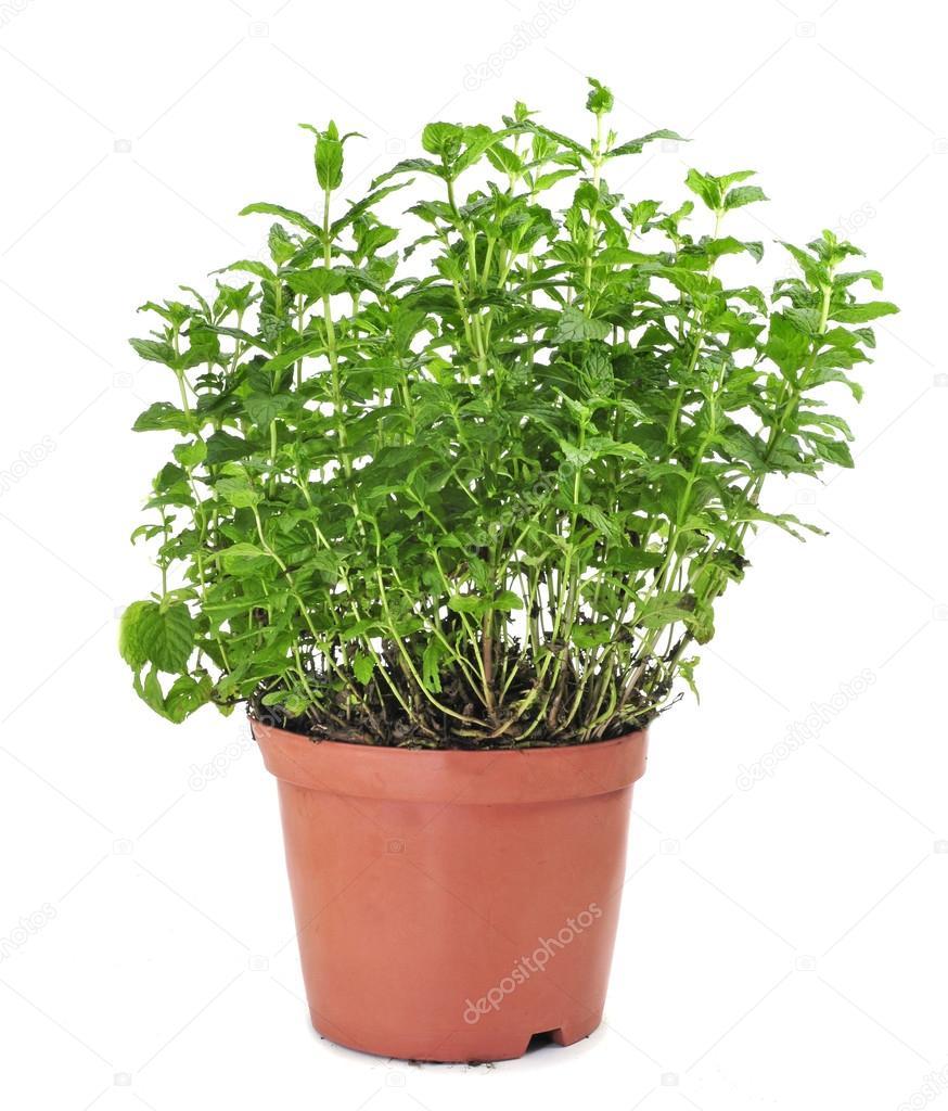 Εάν έχετε αυτό το φυτό στο σπίτι σας, δεν θα δείτε ξανά ποτέ ποντίκια, αράχνες και έντομα