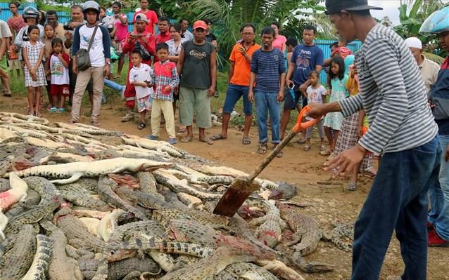 Ινδονησία: Μαζική σφαγή κροκοδείλων από οργισμένους χωρικούς