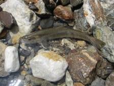 o5-35cm岩魚①20180805