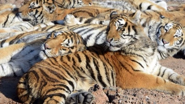Así viven los tigres en el safari donde se dio el incidente