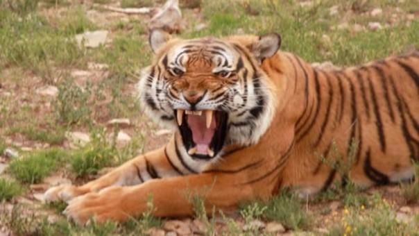 China es el hogar del tigre del sur de China, especie en peligro de extinción considerada como el ancestro del resto del resto de subespecies de tigres.