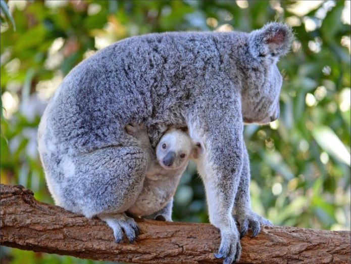 A rare white baby koala Rare white baby koala born at Australia Zoo is looking for a name Rare white baby koala born at Australia Zoo is looking for a name b63b573904951b49e1ebb86dbe84702cfc55b2e9544fa8d855e038afc7004a65 4079957
