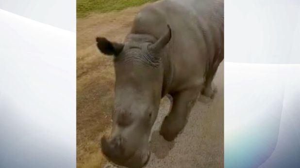 The rhinos in Werribee Open Range Zoo in Melbourne have been trained to come when called to move them to higher ground if a nearby river floods. Pic: Zoos Victoria