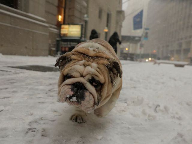 A bulldog is unimpressed with the snowy conditions he's experiencing on his walk in New York
