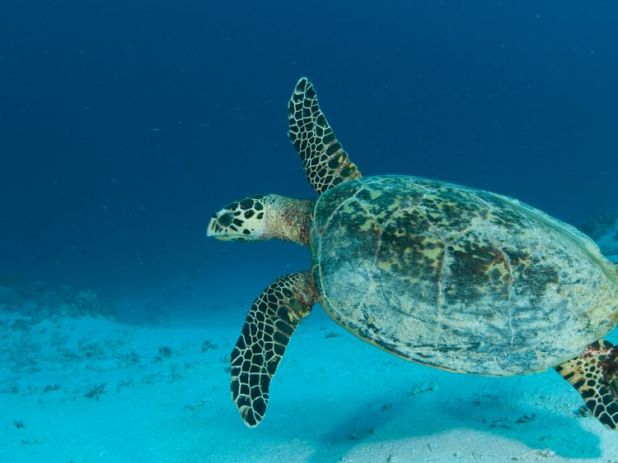 A turtle explores the Great Barrier Reef. Pic: Jayne Jenkins