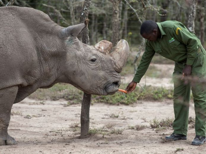 The rhino, called 'Sudan', was suffering from 'age-related complications'. File pic  New hope for almost-extinct northern white rhino skynews sudan rhino 4260098