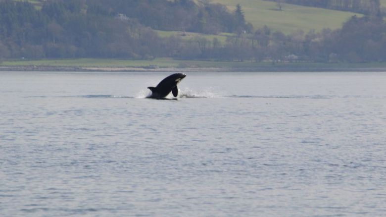 A killer whale jumps in the Rover Clyde. Pic: Keith Hodgins