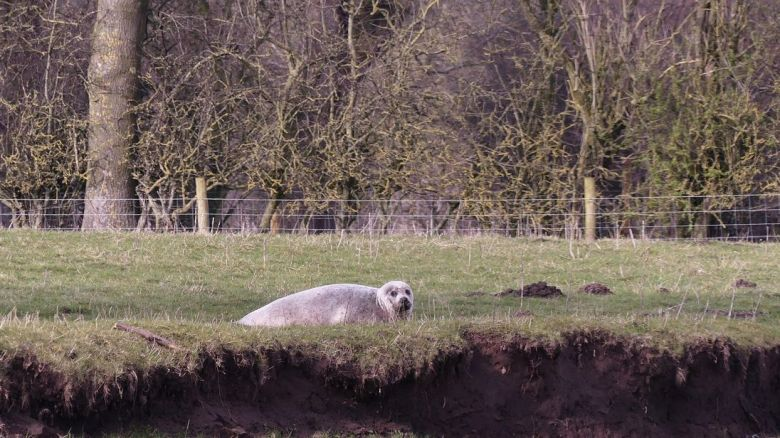 The seal was spotted in a field in Yorkshire. Pic:Karen Hargreave