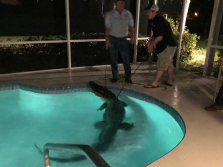 An animal expert was brought in to get the alligator out