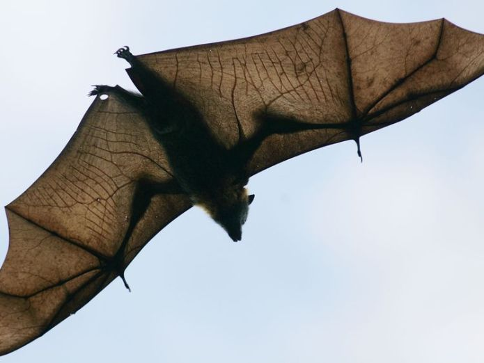 The fruit bat - of flying fox - is the main carrier of the virus. Incurable 'bat virus' Nipah sparks alert in India's Kerala state Incurable 'bat virus' Nipah sparks alert in India's Kerala state skynews fruit bast nipah 4316790